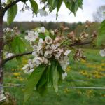 Rainier Cherry bloom - petal fall