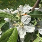 Zestar! apple 05/11/15 early petal fall
