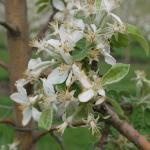 Macintosh Apple bloom - petal fall