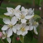 Honey Crisp Apple bloom