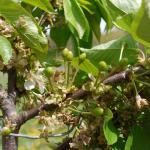Rainier Cherry fruit set