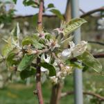 Macintosh Apple petal fall