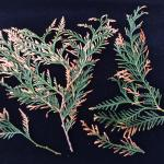 Needle tip blight symptoms on arborvitae as a result of infection by Phyllosticta thujae.