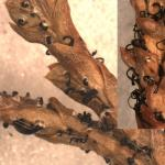 Black, tendril-like spore masses produced by Pestalotiopisis on infected arborvitae needles.
