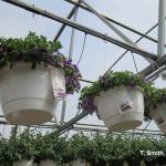 Spring hanging baskets with sachets of predatory mites