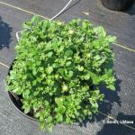 Premature budding of late cultivar