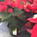 Card containing parasitic wasp pupae on poinsettia plant in greenhouse