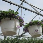 Sachets on hanging baskets containing predatory mites in greenhouse