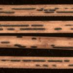 Spore-bearing structures (hysterothecia) produced by Ploioderma lethale on needles of Austrian pine (Pinus nigra).