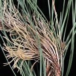 Symptoms of Diplodia blight, caused by Diplodia sapinea, on red pine (Pinus resinosa)