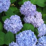 Hydrangea macrophylla with bountiful blooms.