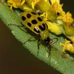 Spotted cucumber beetle. Photo: S. Ellis, Bugwood.org