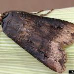 Black cutworm moth. Photo: A. Sisson, Iowa State University, Bugwood.org