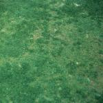 Anthracnose on a putting green.