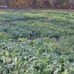 Brassicas planted August 13 and pictured on day of harvest November 5, 2002.