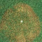 Brown Patch on bentgrass.