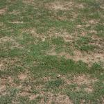 Brown Patch on lawn turf.