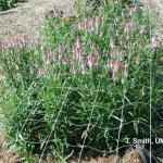Celosia as field-grown cut flower