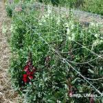 Snapdragon as field-grown cut flower