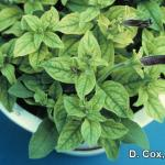 Iron deficiency on petunia