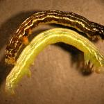 "Fig_12.jpg : Both color phases of the Fall cankerworm (Alsophila pometaria) caterpillar are depicted here. Mostly, they are green but the darker phase can often be found, especially in higher density populations. Note the short first pair of prolegs (abdominal legs). It is said that fall cankerworm has ""2 1/2 pairs"" of prolegs. Compare with Fig_7 of the winter moth caterpillar. Winter moth has only two. Fall cankerworm caterpillars are often found in mixed populations with winter moth in MA"