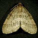 "Fig_13.jpg: A male winter moth adult moth. Note the fringe on the bottom edge of the wings and the black ""hash-marks"" that form the broken band that go across the wings near the tip. Compare this to the adult male Bruce Spanworm in Fig_14"