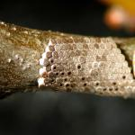 Fig_2.jpg: Eggs of the Fall Cankerworm (Alsophila pometaria) on the stem of an oak. Whereas winter moth eggs are small, oval, and loosely scattered along the trunk and main branches, fall cankerworm eggs are barrel-shaped and tightly packed together around the small stems of the host plant. Compare to Fig_1 (Photo: R. Childs)