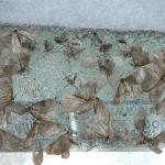 Fig_21.jpg: A close up view of a portion of a sticky band from Fig_17. This band has both males and females of winter moth and fall cankerworm.  (Photo: R. Childs)