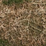 Microdochium Patch