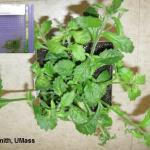 INSV symptoms on Lobelia and Agdia test kit showing positive results