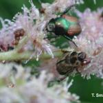 Japanese beetle (top) and Oriental beetle (bottom) on Astilbe