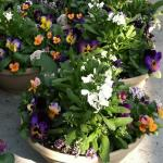 Mixed planter for early spring