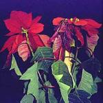 Phytophthora root and crown rot on Poinsettia