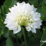 Tarnished Plant Bug Injury on Dahlia Flower