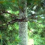 "The ""woolly masses"" created by the Pine Bark adelgid, on an Eastern White Pine."