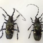 Adult Asian longhorned beetles. Note that the area between their wing covers (or the scutellum) is black.