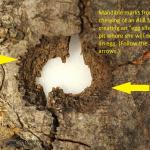 An old Asian longhorned beetle egg site or pit chewed by an adult female depositing her egg in a host tree.