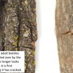 Old exit holes made by adult Asian longhorned beetles emerging from host trees.