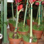 Amaryllis bulbs in flower