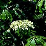 Japanese andromeda foliage and flowers