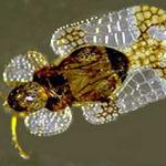 An adult lacebug
