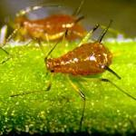 A typical aphid displaying the plump body, long spindly legs and the characteristic pair of cornicles (R. Childs)