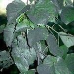 Linden leaves displaying large amounts of sooty mold on the upper leaf surfaces. The primary cause was from the honeydew produced byu aphids that colonized the tree throughout the growing season. (R. Childs)