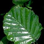 An alder leaf displaying much honeydew from a large aphid population. These leaves later became very blackened by sooty mold. (R. Childs)