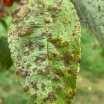 Apple scab foliar lesions on crabapple (Malus).