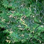Tips of arborvitae foliage mined by the arborvitae leafminer. (Photo: R. Childs)