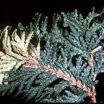 Arborvitae foliage that was killed by winter conditions and not a leafminer. (Photo from the UMass Entomology teaching collection)