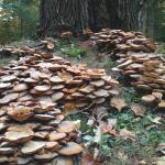 Large cluster of Armillaria mushrooms growing around the base of a recently killed tree.