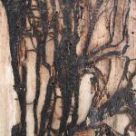 Rhizomorphs produced by Armillaria under the bark of an dead tree.