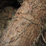 Rhizomorphs produced by Armillaria attached to the root of an infected eastern hemlock.